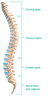 Spine side view