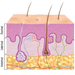 hudens lager