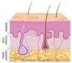 Rys. Warstwy skóry