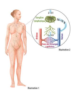 Le système lymphatique humain