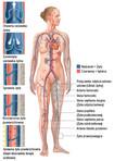 Układ krwionośny – szczegóły