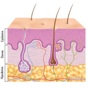 Representação das camadas da pele