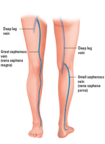The venous system in the leg