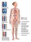 Blutkreislauf im Detail