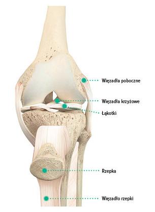 Budowa anatomiczna stawu kolanowego