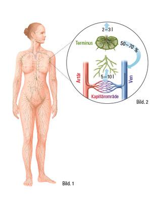 Människans lymfsystem
