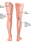Das Venensystem im Bein