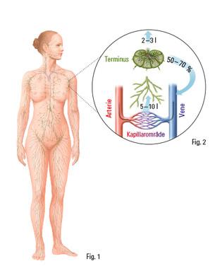 Menneskets lymfesystem