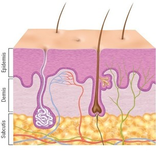 Image of layers of the skin