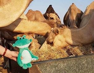 Julius con los camellos