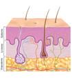 Illustration des couches de la peau